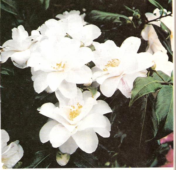 Olii essenziali ed estratti vegetali for Nomi di fiori bianchi
